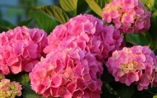 Секреты посадки розовой гортензии