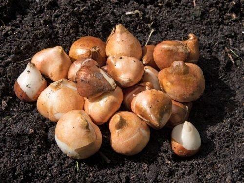 Здоровые луковицы тюльпанов
