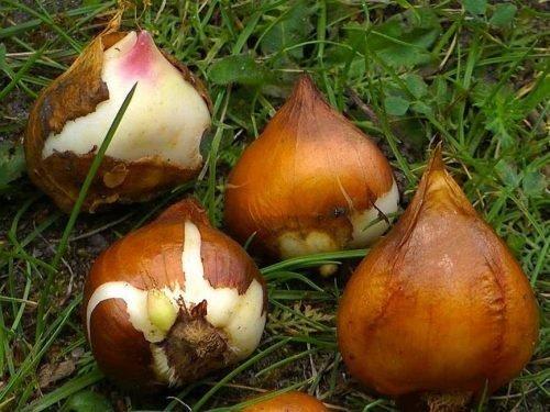 Луковицы и детки тюльпанов