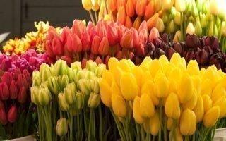 Как вырастить тюльпаны дома к 8 марта