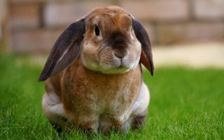 Разведение кроликов — с чем столкнется начинающий кроликовод