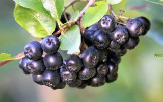 Компот и другие заготовки из черноплодной рябины: лучшие рецепты