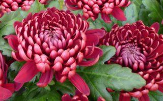 Как вырастить дубки цветы. Уход за  цветами дубки осенью. Цветы дубки: посадка в открытый грунт, размножение, уход