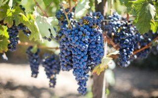 Виноград Изабелла: описание сорта с характеристикой, особенности посадки и выращивания, фото, отзывы