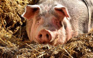 Рожа у свиней симптомы и лечение в домашних условиях (фото)