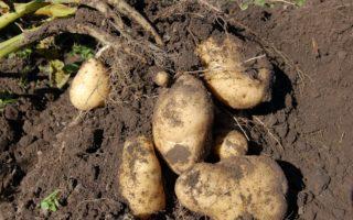 Когда выкапывать картошку с грядки для хранения, как определить, что пора
