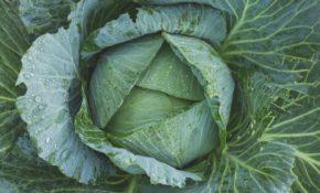 Как вырастить рассаду капусты в домашних условиях,  как ухаживать за растением в этот период