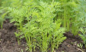 Морковь на рассаду - когда сажать, можно ли выращивать через рассаду
