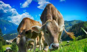 Как можно назвать корову: список красивых кличек по алфавиту для коровы и быка