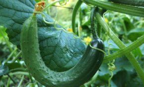 Выращивание рассады огурцов в домашних условиях для теплицы, открытого грунта, фото и видео