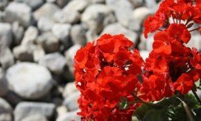 Герань - уход в домашних условиях для начинающих, чтобы растение цвело, проведение обрезки зимой, фото, видео