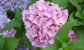 Гортензия крупнолистная: описание и сорта. Посадка в грунт