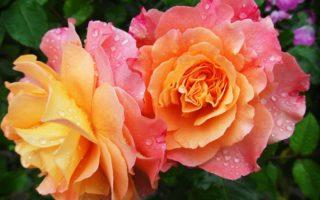 Розы цветущие все лето: сорта зимостойкие, неукрывные непрерывного цветения, какую розу посадить на даче, чтобы цвела всё лето