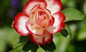 Чем укрыть розы на зиму: какие материалы, кроме лапника использовать, когда можно засыпать кусты опилками или песком, и выживут ли растения, если у них нет защиты?