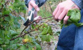 Как обрезать кусты смородины осенью, весной и летом