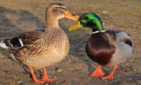Самец утки: как определить пол и чем отличаются селезень и утка