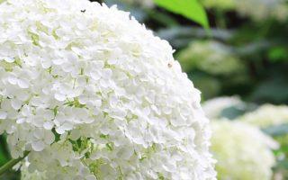 Чем подкормить гортензию для роста и пышного цветения