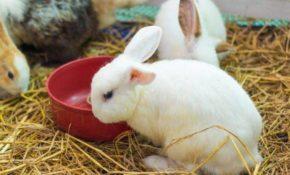 Спаривание кроликов: как отобрать кроликов, как определить пол, как провести спаривание и определить сукрольность