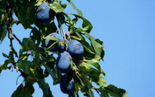 Обрезка сливы летом для начинающих, чтобы был хороший урожай: схема, пинцировка сливы