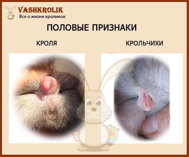 половые признаки кроликов