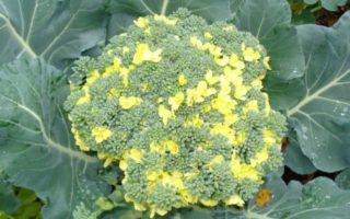Брокколи зацвела желтыми цветами: почему так происходит?