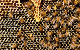 Как делают мёд пчёлы