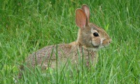 Чем заяц отличается от кролика