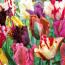 Сорта и правила выращивания попугайных тюльпанов