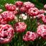 Выращивание пионовидных тюльпанов