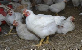 Курица-бройлер