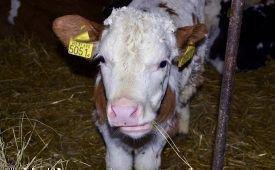 Диарея (понос) у теленка: основные причины и способы лечения